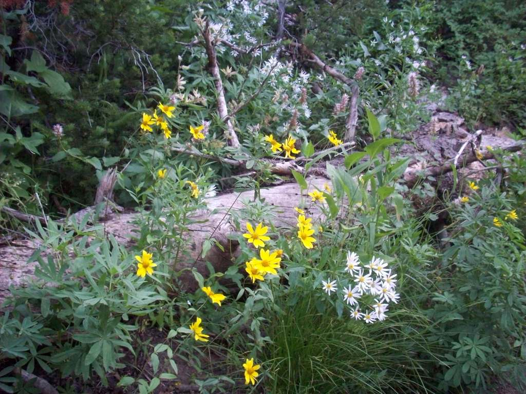 Wasatch Mountain Wildflowers