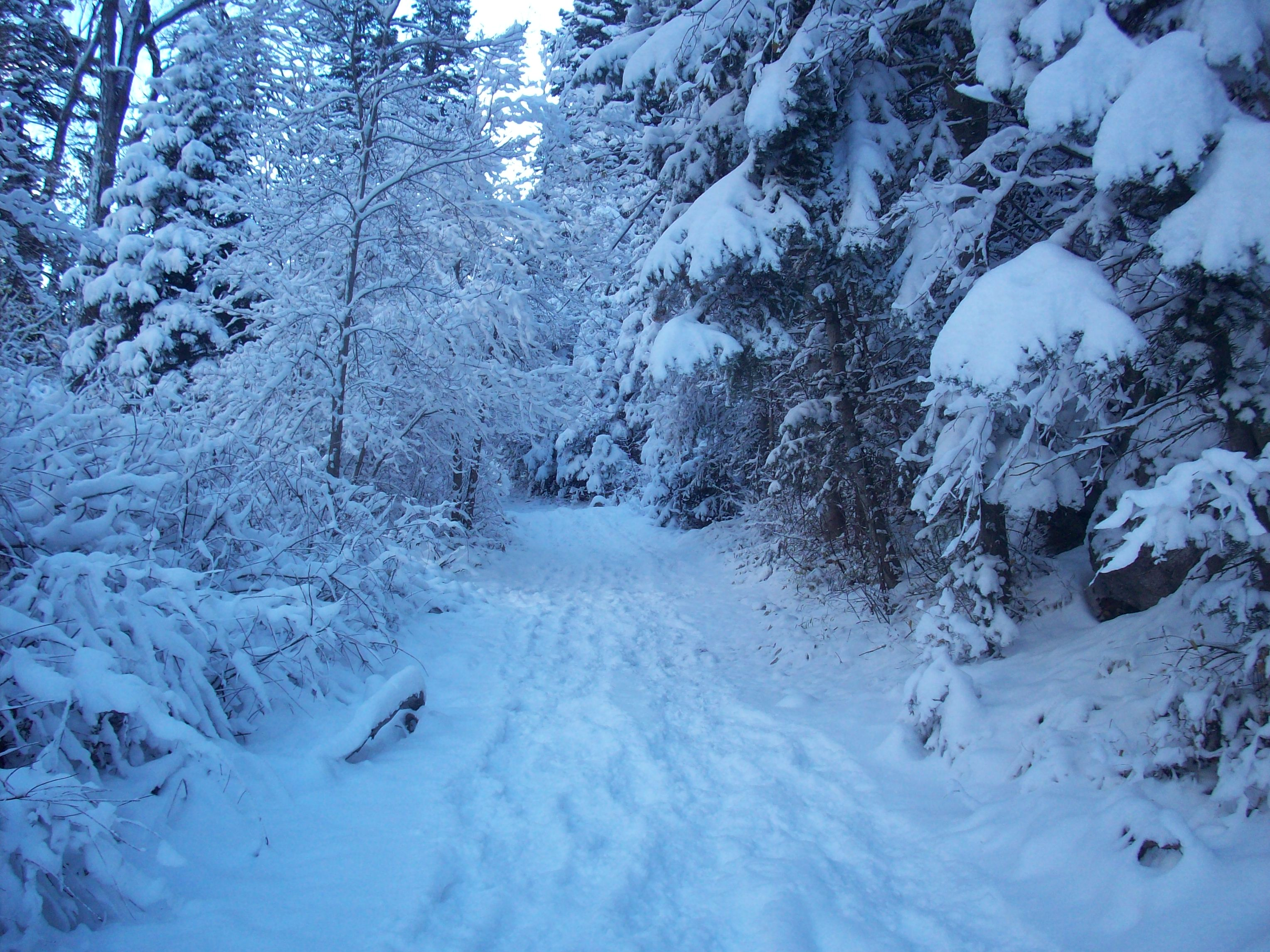 Snowy Trail In The Winter Coniferous Forest Stock Photo, Picture ...