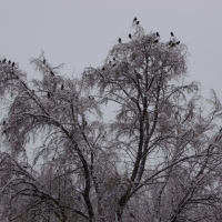 Blackbirds in Snow