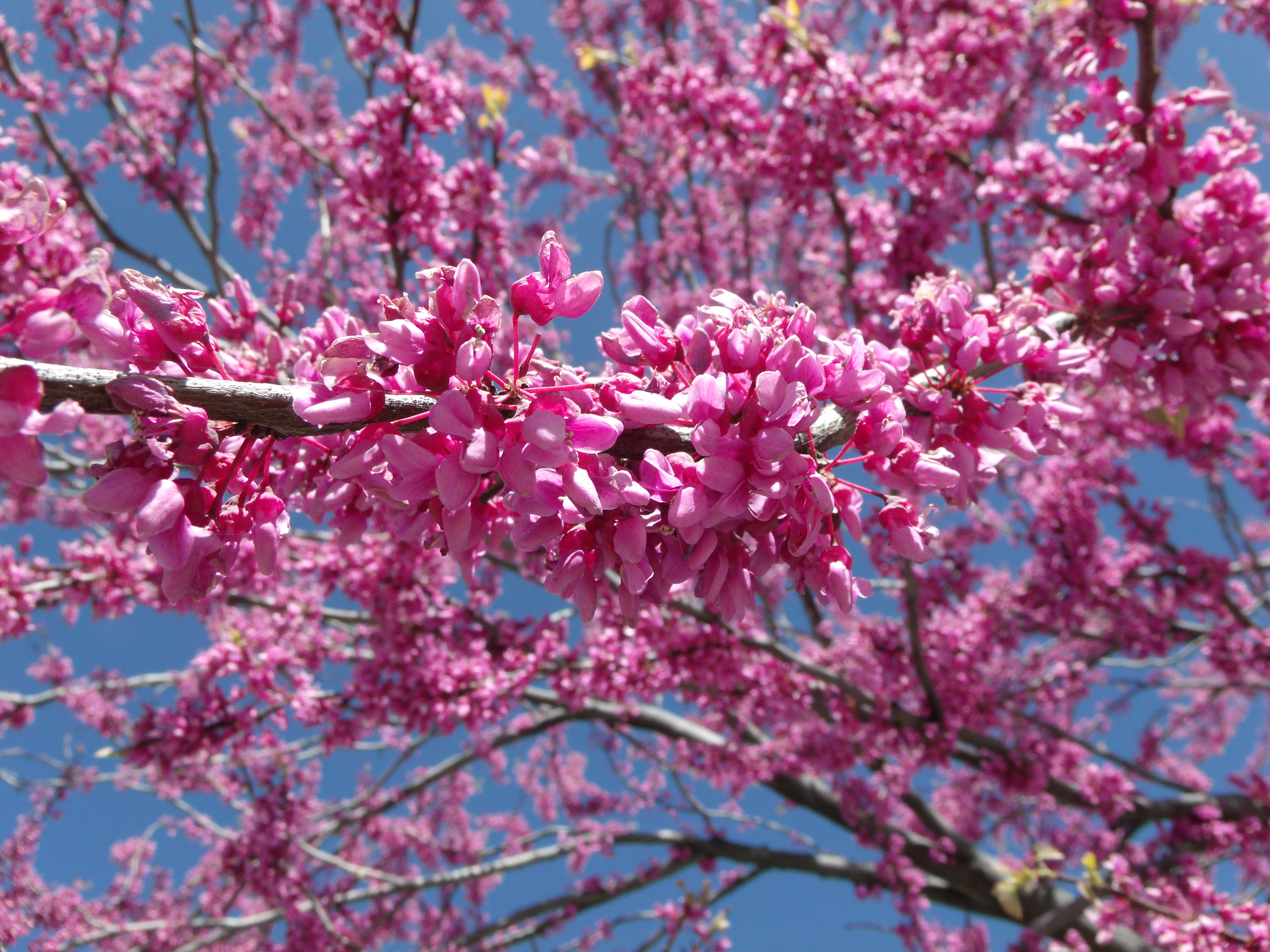 Beautiful flowering-tree   Scott's PlaceImages and Words IG29