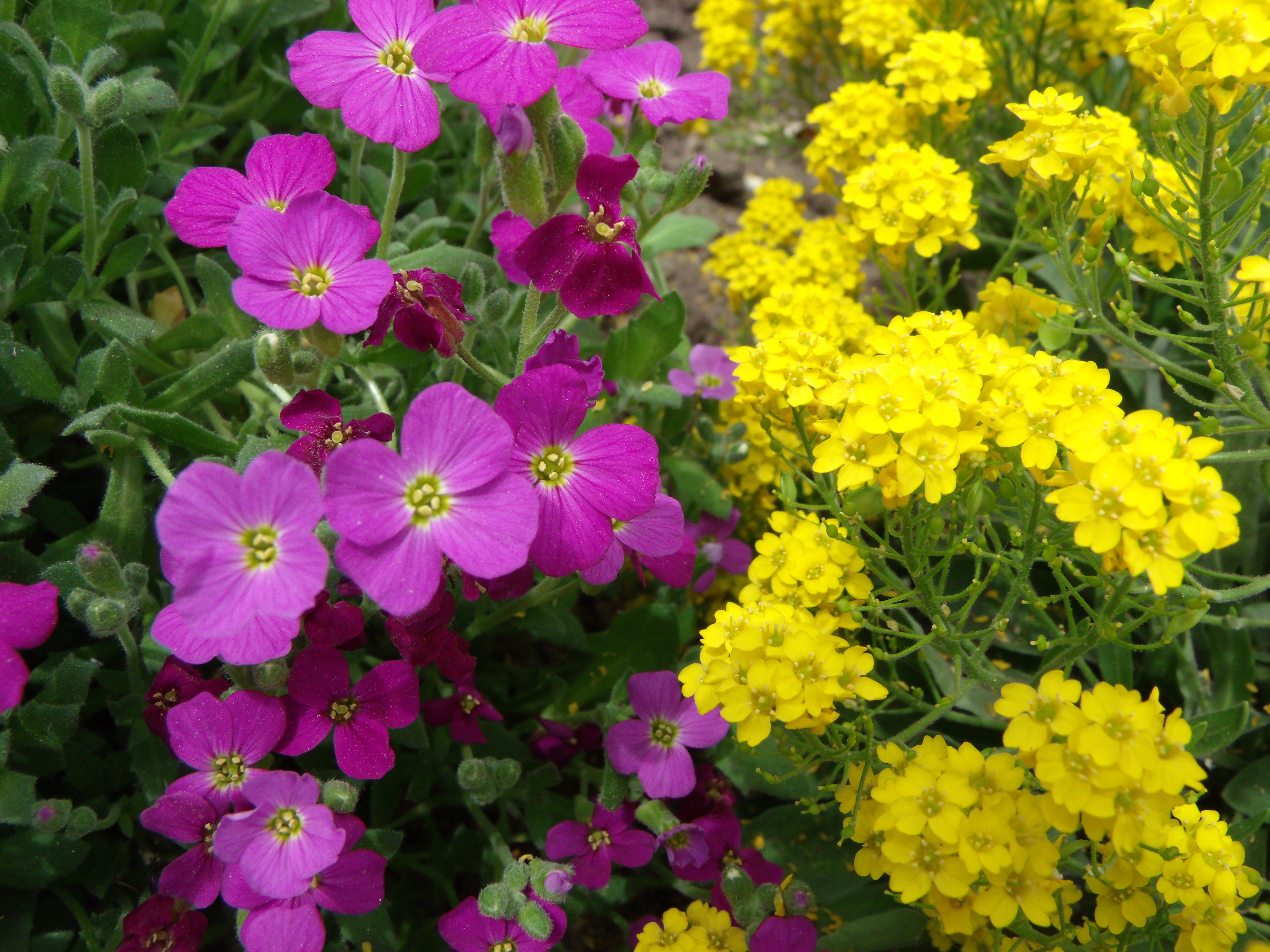 purple and yellow flowers | Scott's Place...Images and Words