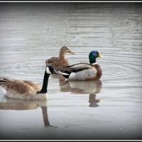 Duck, Duck....