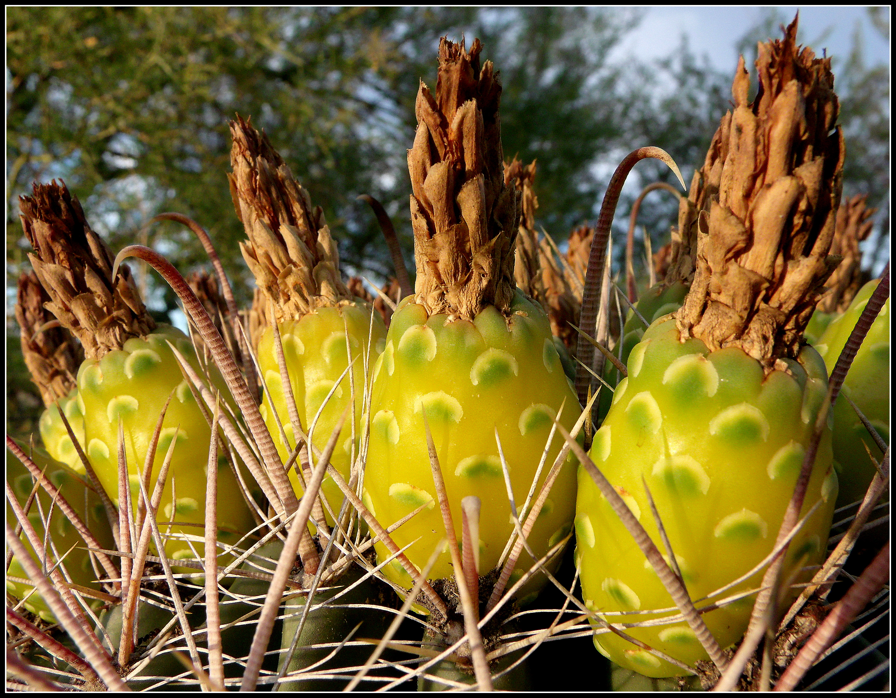 Prickly Pear Cactus Scott S Place Images And Words