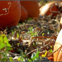 Pumpkin Patch....