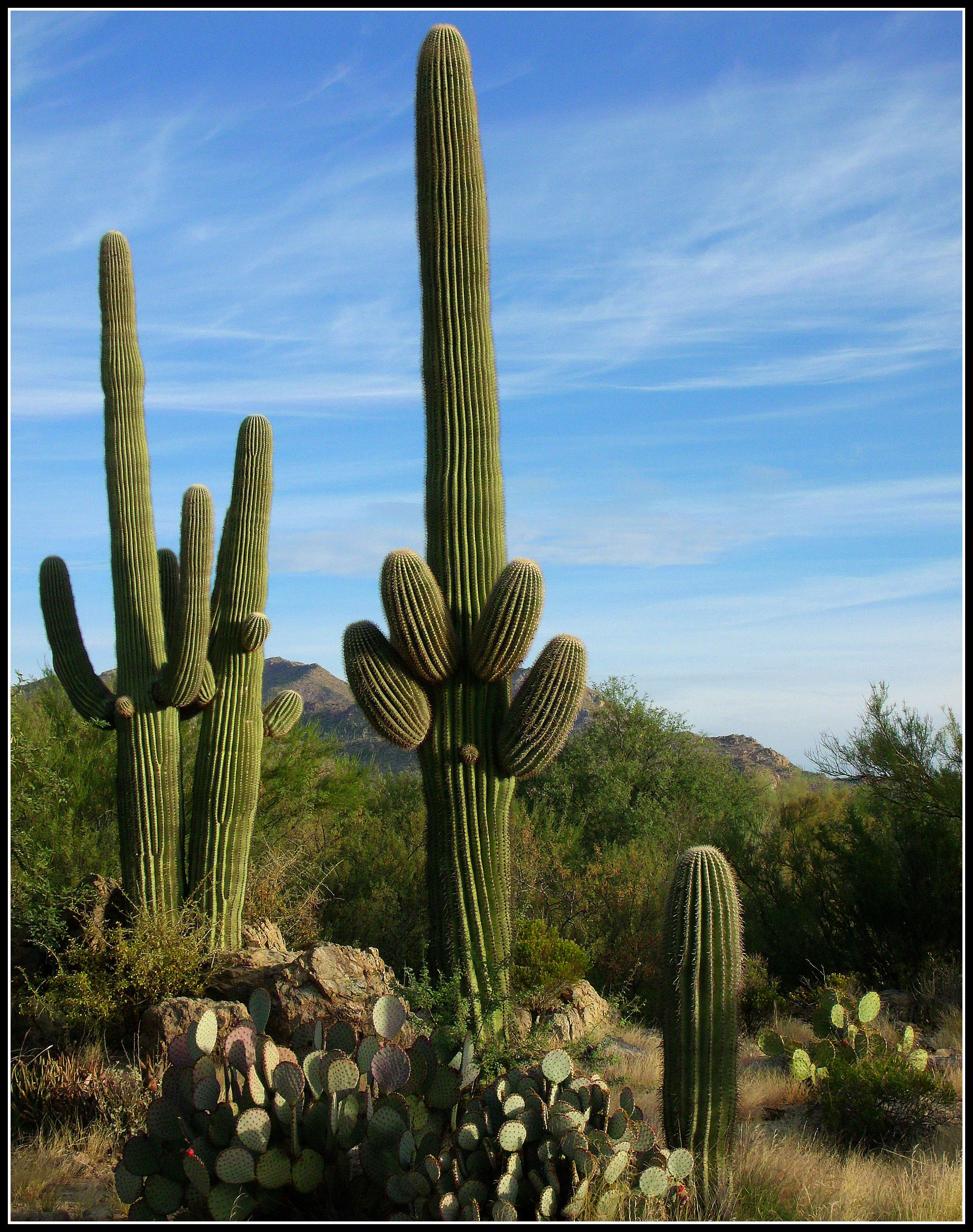 deserts cactus - photo #32