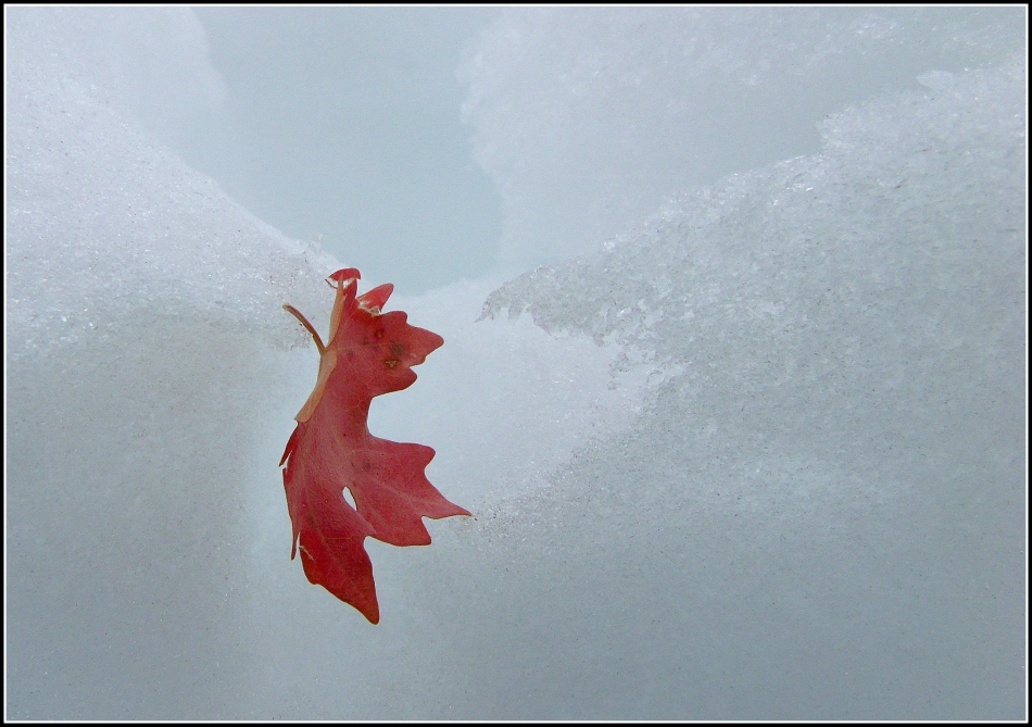 Red Maple Leaf in Snow