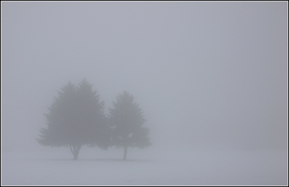 two trees in the fog