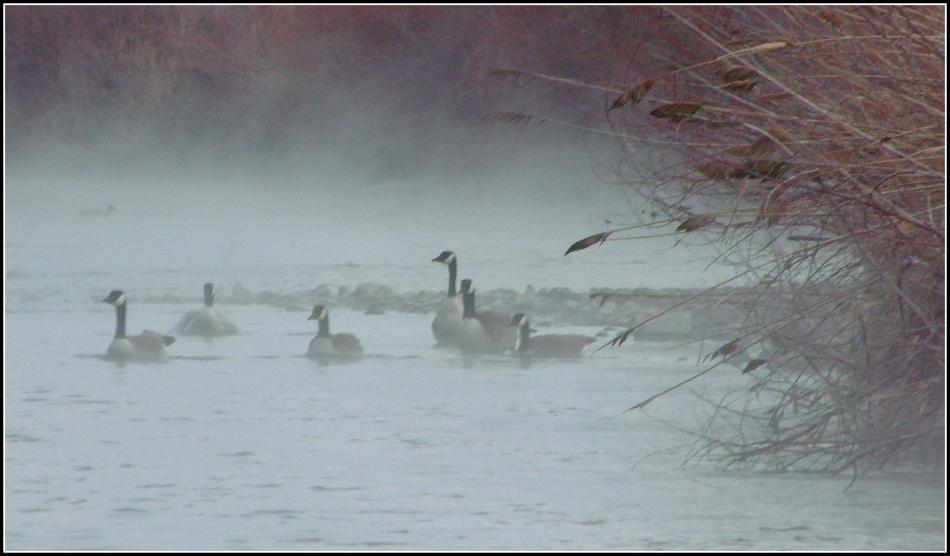 Canada Geese on Jordan River