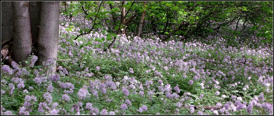 Blanket of Dwarf Waterleaf, Millcreek Canyon, Utah