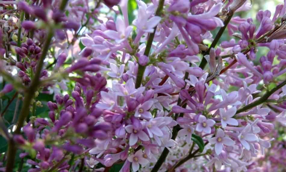 Lilac 9