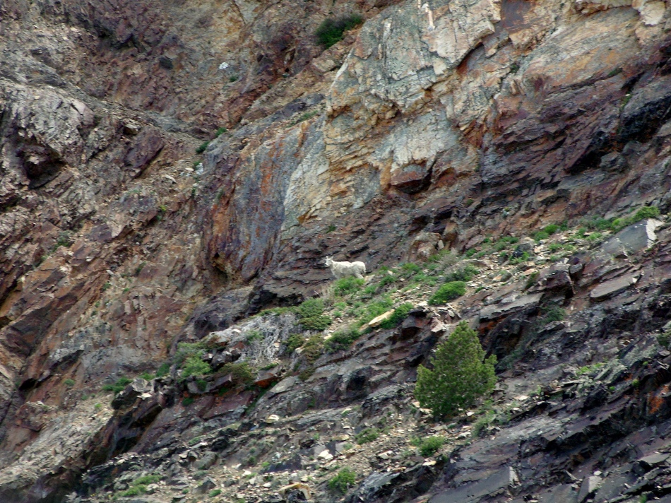 Mountain Goat in Mineral Fork