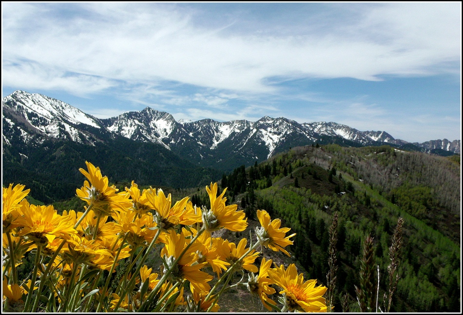 Wasatch mountains over wildflowers