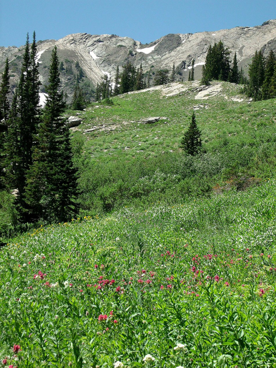 Cardiff Fork mountainside wildflowers