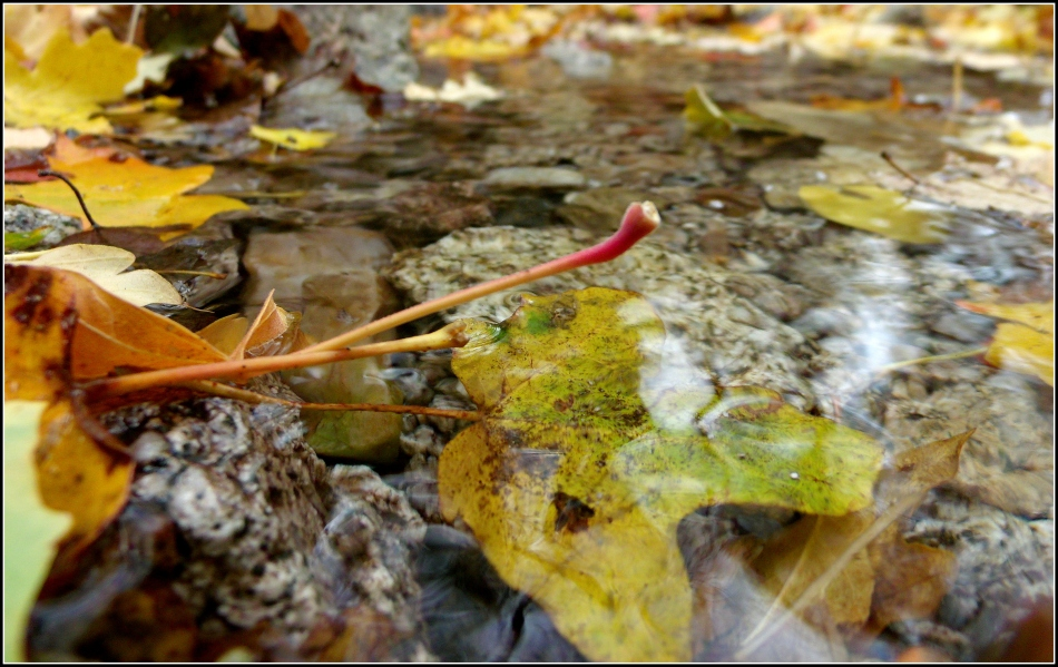 Fall leaves in a stream, Ferguson Canyon, Utah