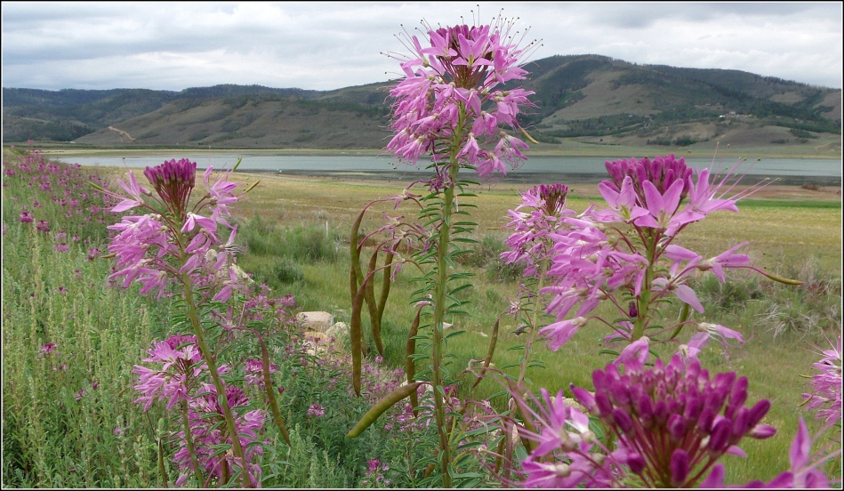 Rocky Mountain Bee Plant at Scofield Reservoir