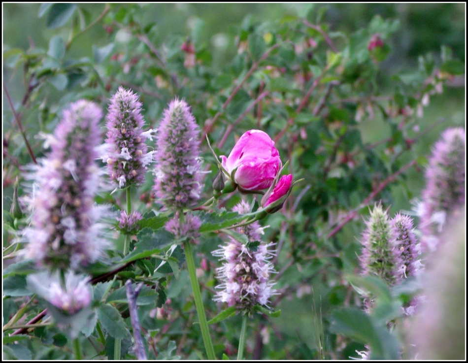 Wild Rose and Horse Mint from Cardiff Fork, Utah