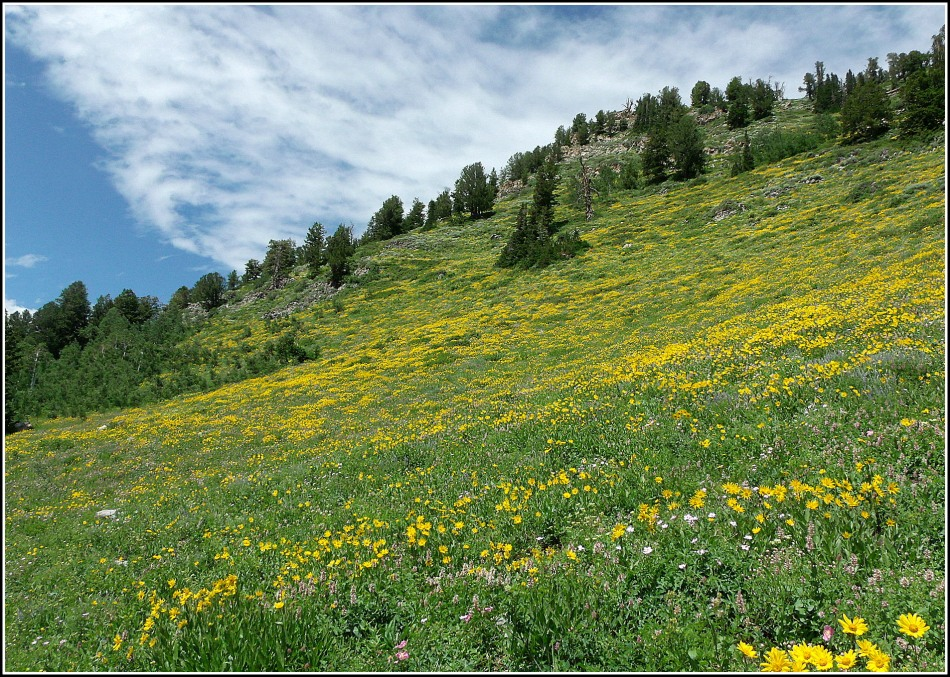 Yellow wildflowers on mountainside