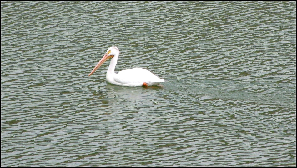 Pelican at Scofield Reservoir Utah