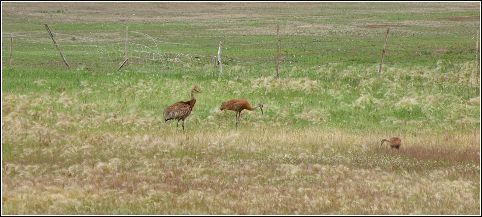 Sandhill Cranes and young near Scofield Reservoir Utah