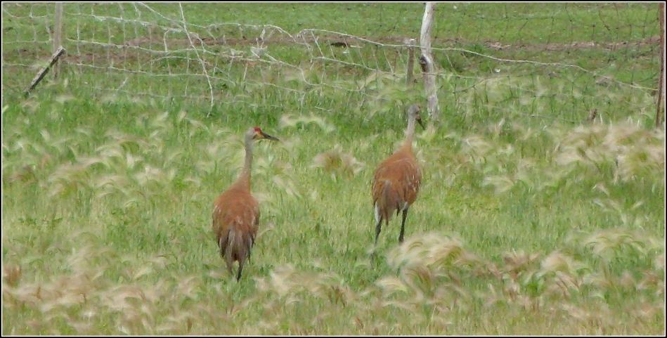 Sandhill Cranes near Scofield Reservoir Utah