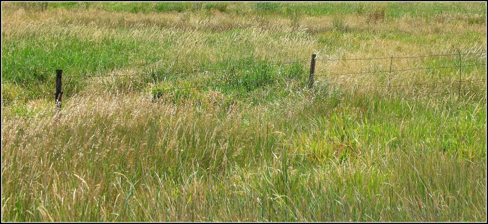 wild grass and fence-line