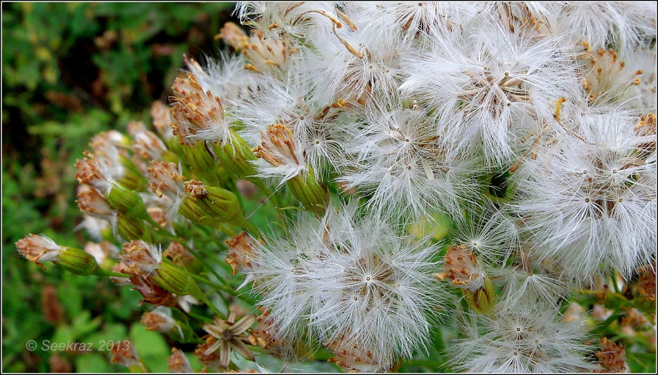 wildflower seed-heads