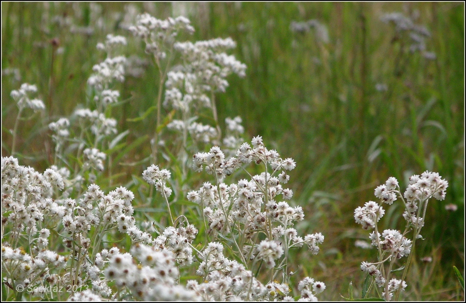 Western Pearly Everlasting 1