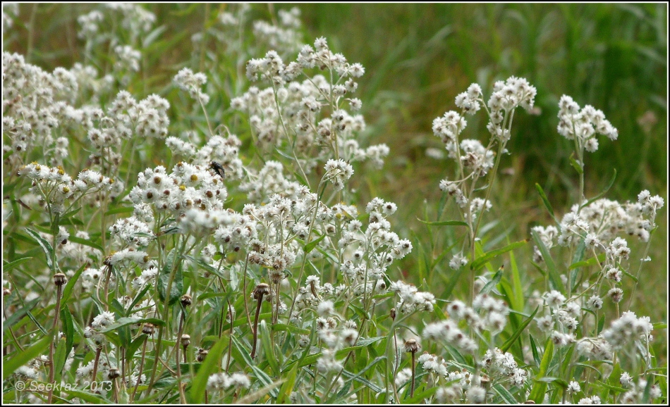 Western Pearly Everlasting 2