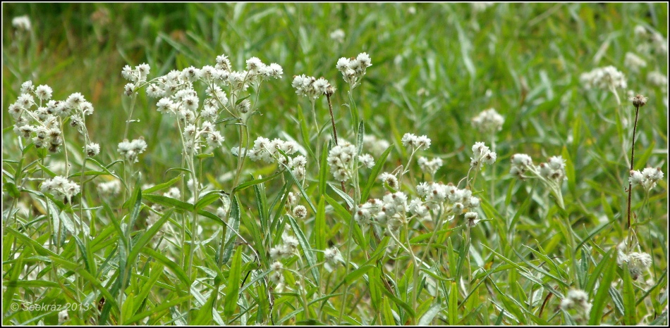Western Pearly Everlasting 3