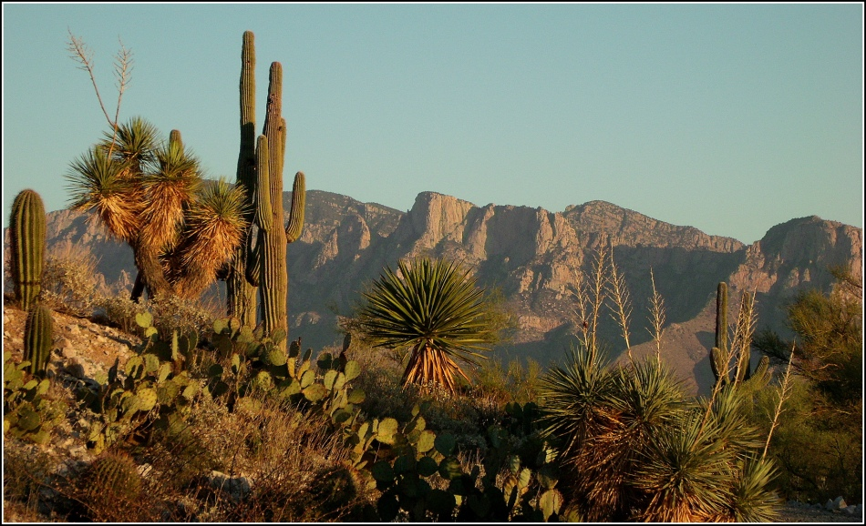 Cacti and Catalina Mountains