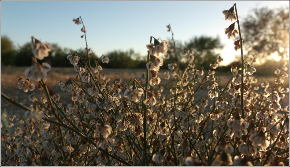 desert wildflowers at sunset