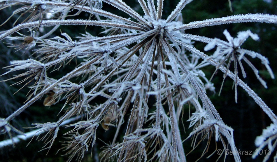 frost on queen anne's lace 1