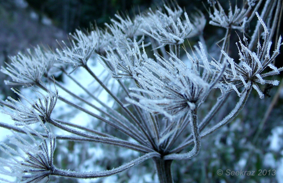 frost on queen anne's lace 2