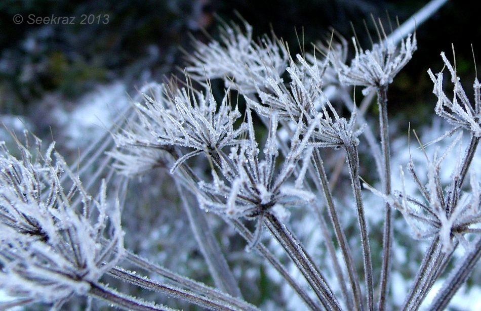 frost on queen anne's lace 3