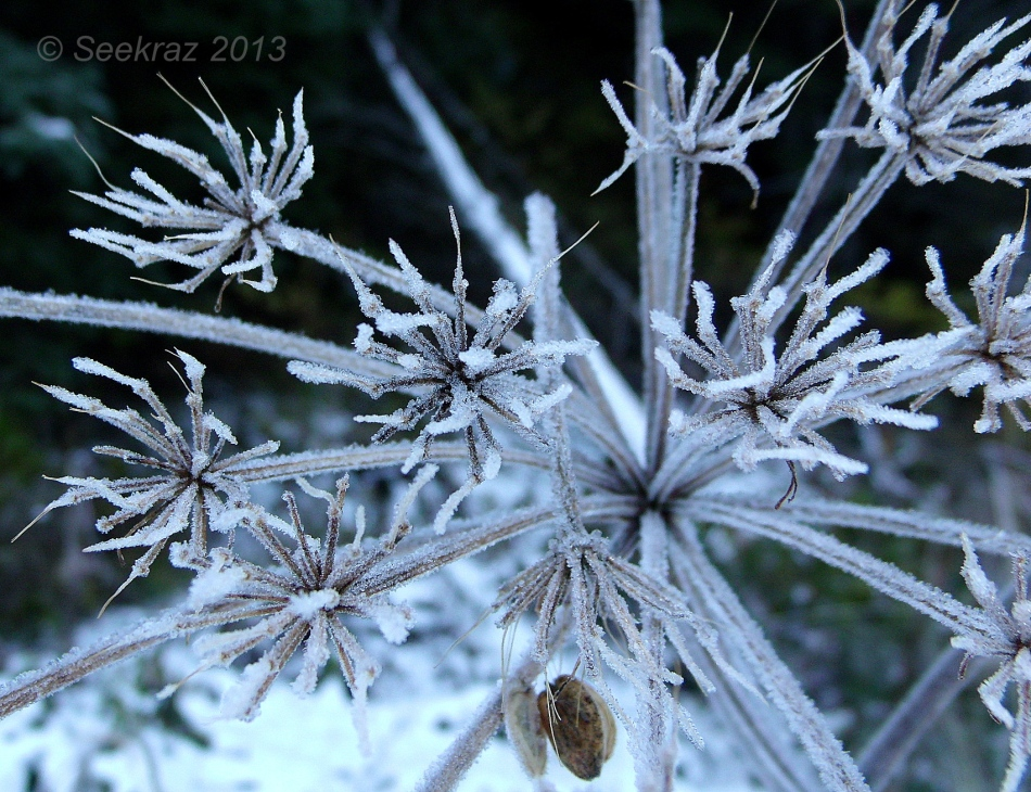 frost on queen anne's lace 4