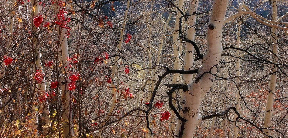 Mountain Ash and Aspen