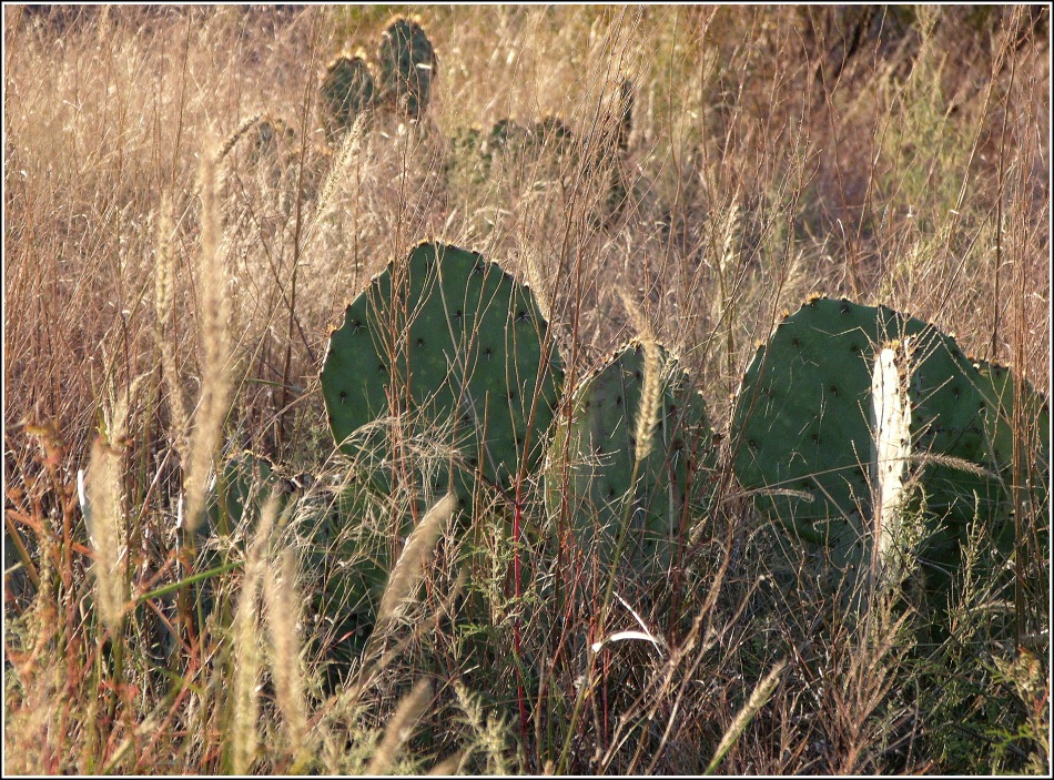 Prickly Pear cactus and wild grass