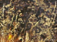 Wild grass seeds at sunrise, Pipeline Trail in Millcreek Canyon