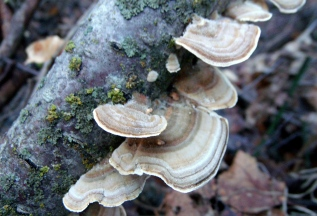 Turkey-tail Fungi?