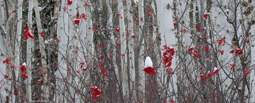 Aspen with Mountain Ash berry highlights