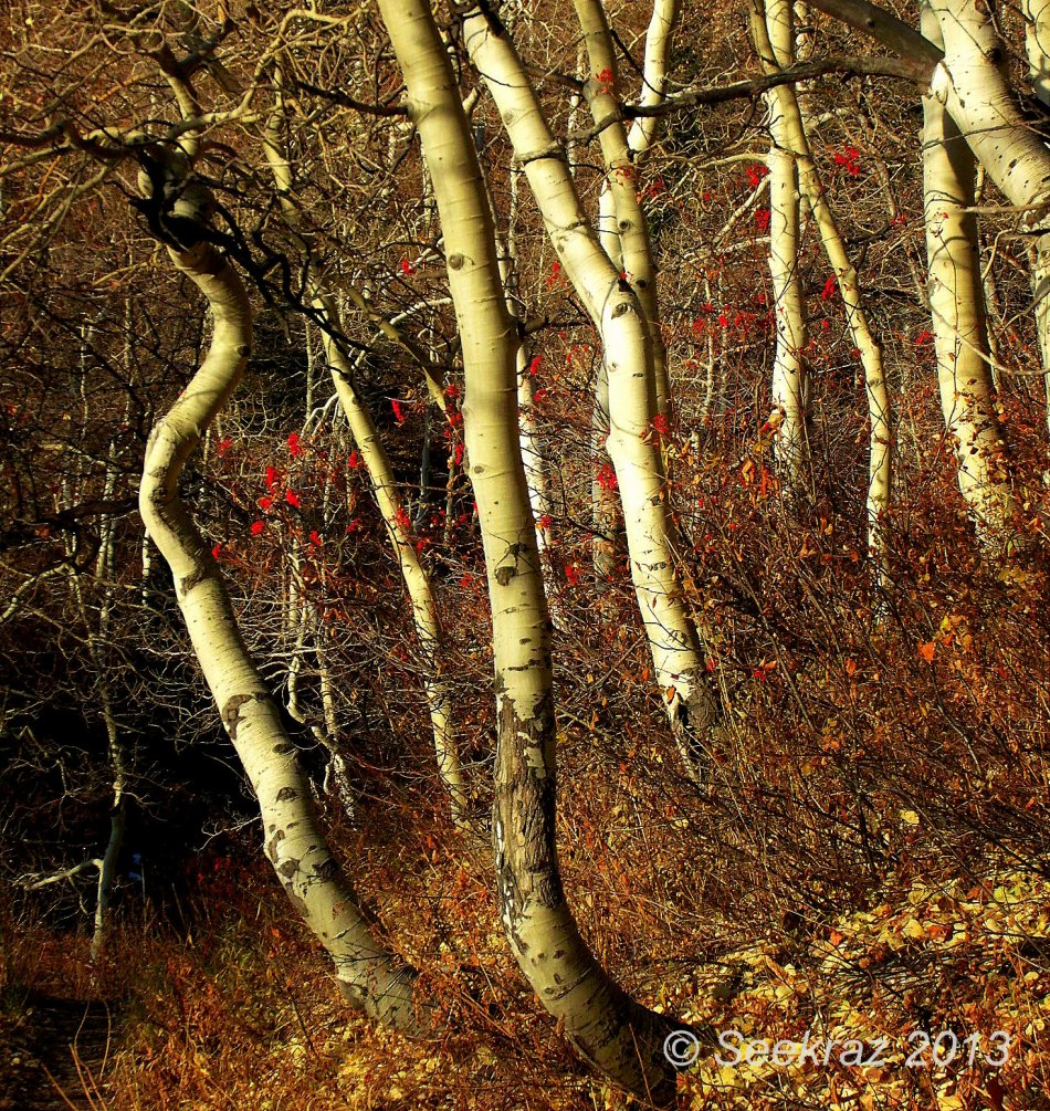 mountain ash and aspen in fall