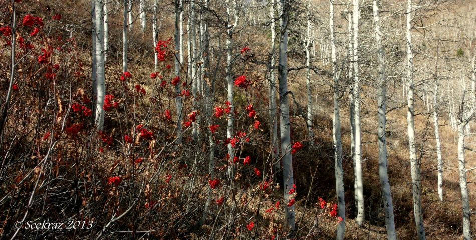 Mountain Ash and Aspen in Butler Fork