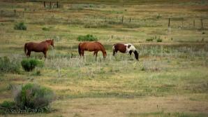 Grazing horses at Scofield, Utah.