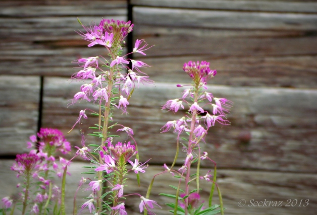 Rocky Mountain Bee Plant with Scofield horse barn.