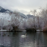 Swan on La Caille pond in Winter