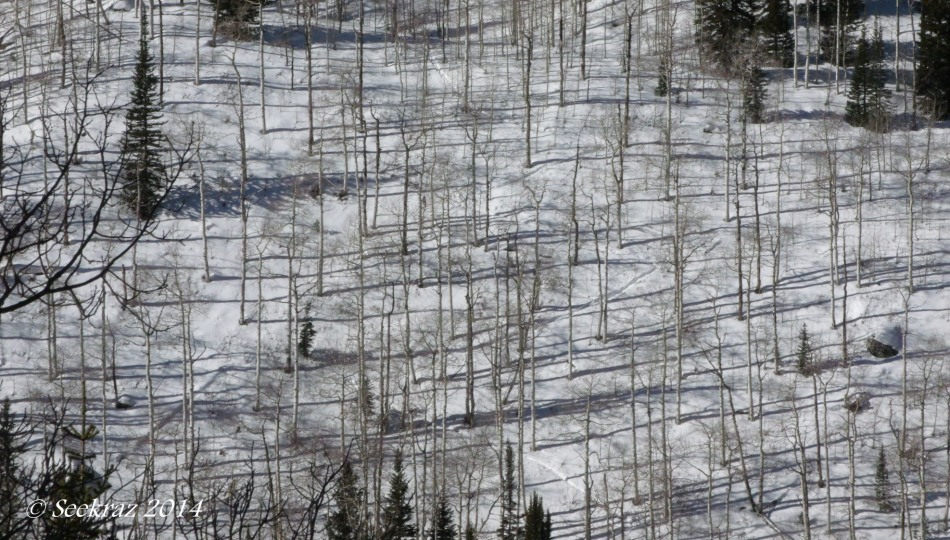 aspen shadows on hillside