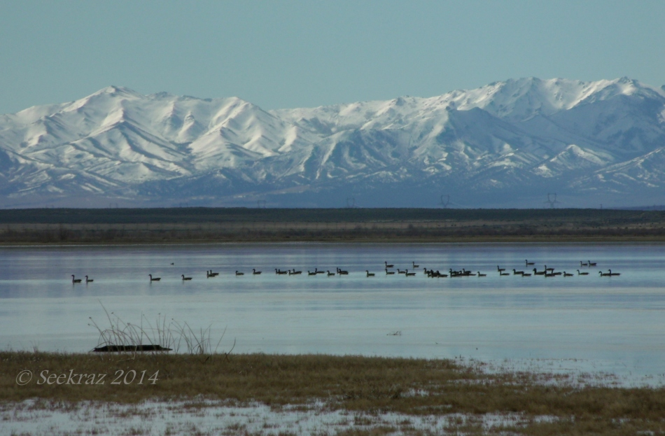 Canada Geese on Rush Lake with Stansbury Mountains in Background