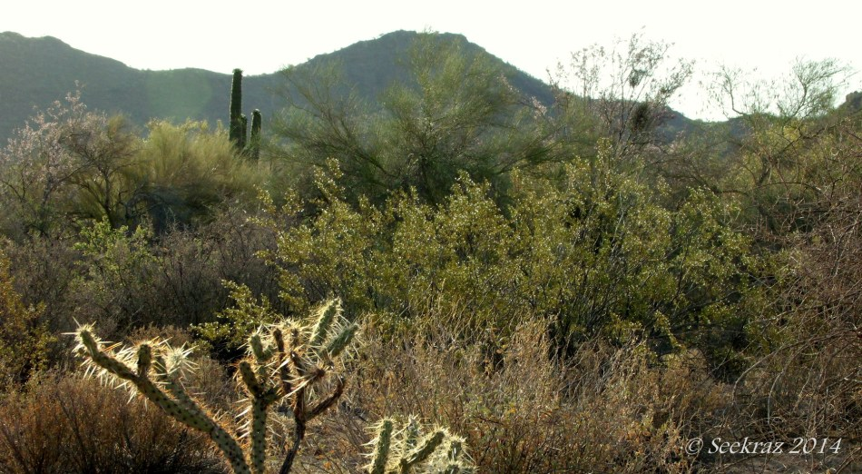 cholla creosote palo-verde saguaro