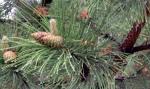 Pine needles andraindrops