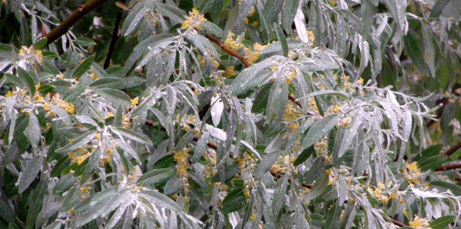 Russian Olive leaves with raindrops